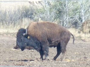 A bison farm along the Missouri River, close to the North Dakota/South Dakota border, October 2009.