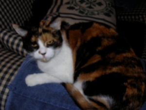 Quinn, about age 7, October 2005. Back in those days she had to put up with a beagle, a burmese, and a second person in the house!  She's much more spoiled these days, being undisputed Monarch of the Manor.