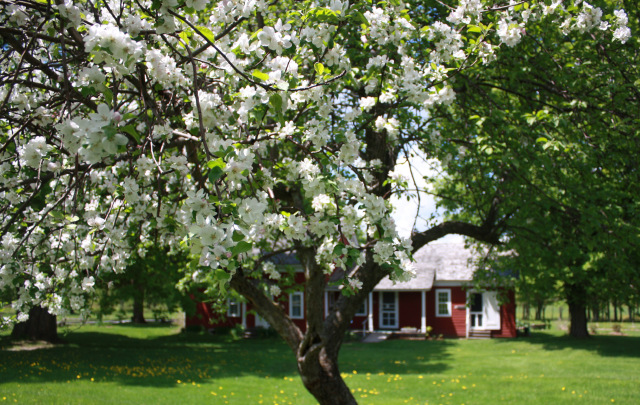 The apple trees were in full bloom last May. They may be a little late this year. Photo by Connie Jenkins